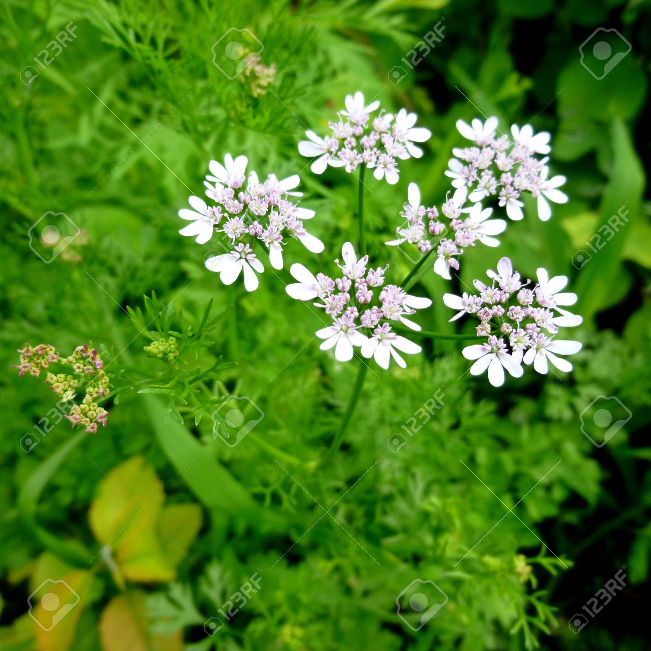 White Flower On Cilantro Plant Vegetable Garden Plants Natural