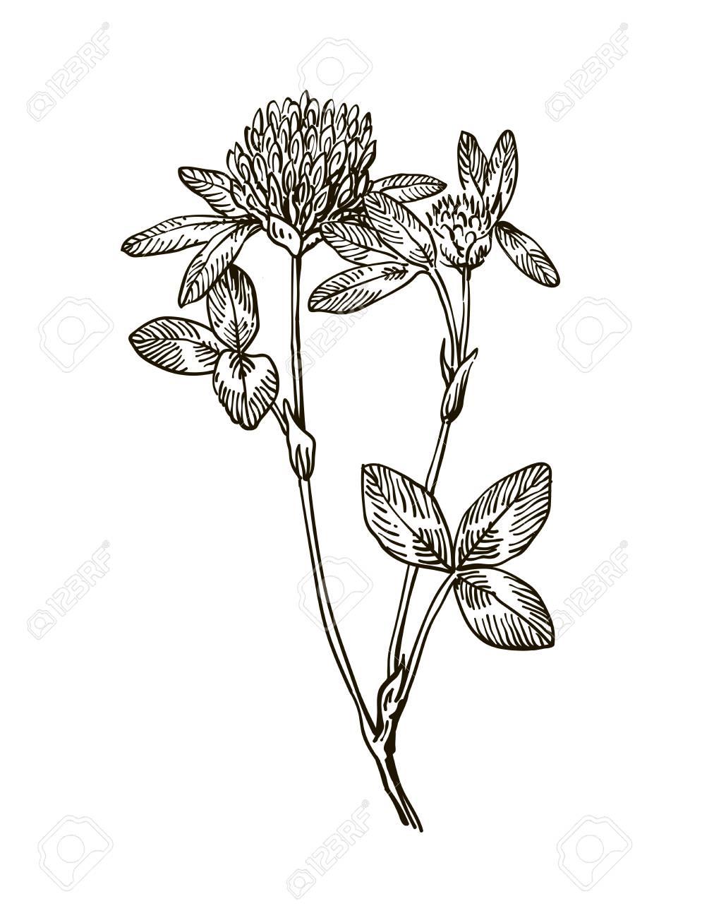 クローバー ハーブ イラストをインクします手描き植物スケッチ