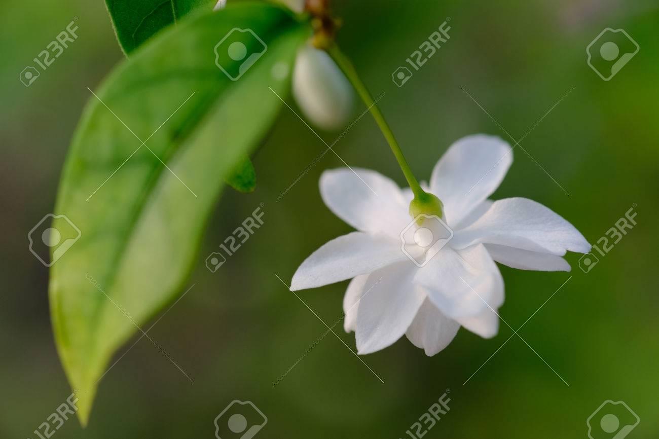 Thai S Single Beautiful Moke Flower In The Morning Light Stock Photo