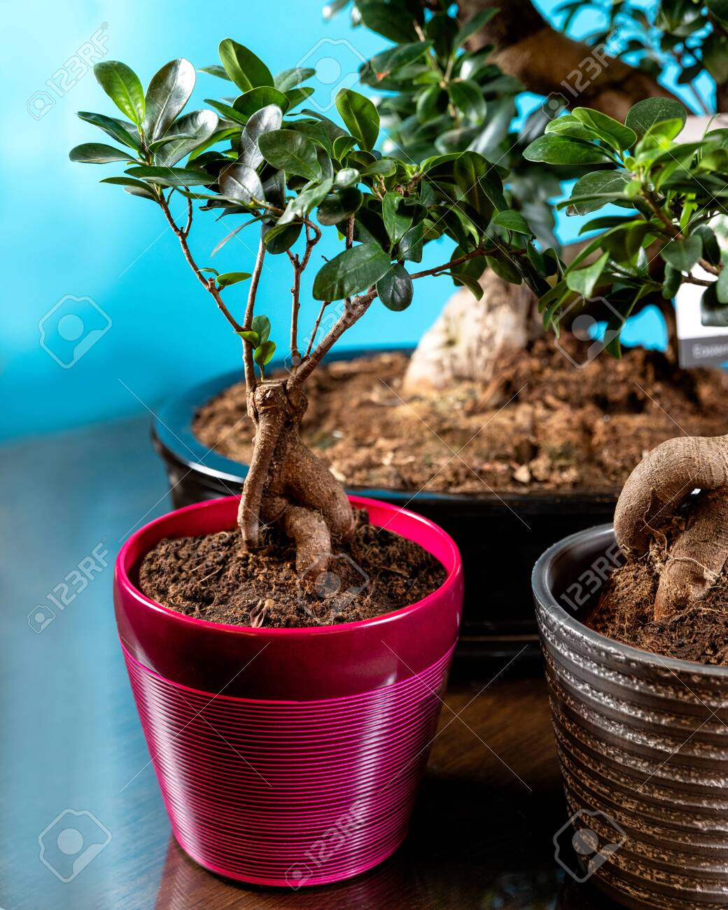 Beautfiul Small Serissa Bonsai Tree In Purple Pot Stock Photo Picture And Royalty Free Image Image 151144588