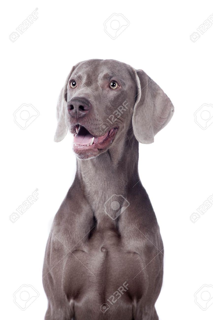 Funny Weimaraner Dog isolated on white background