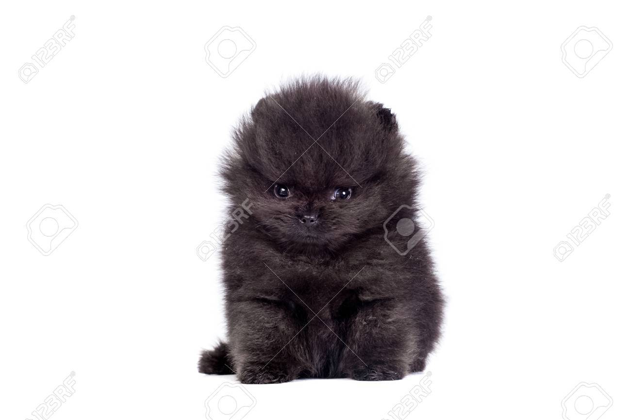Black Pomeranian Puppy On White Stock Photo Picture And Royalty Free Image Image 29709034