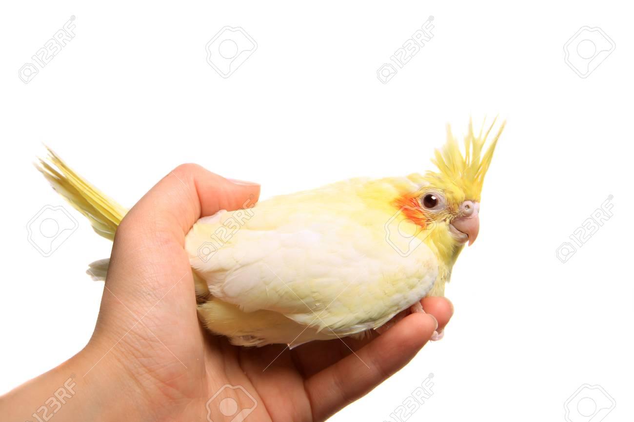 White Baby Parakeet Cockatiel parakeet baby on