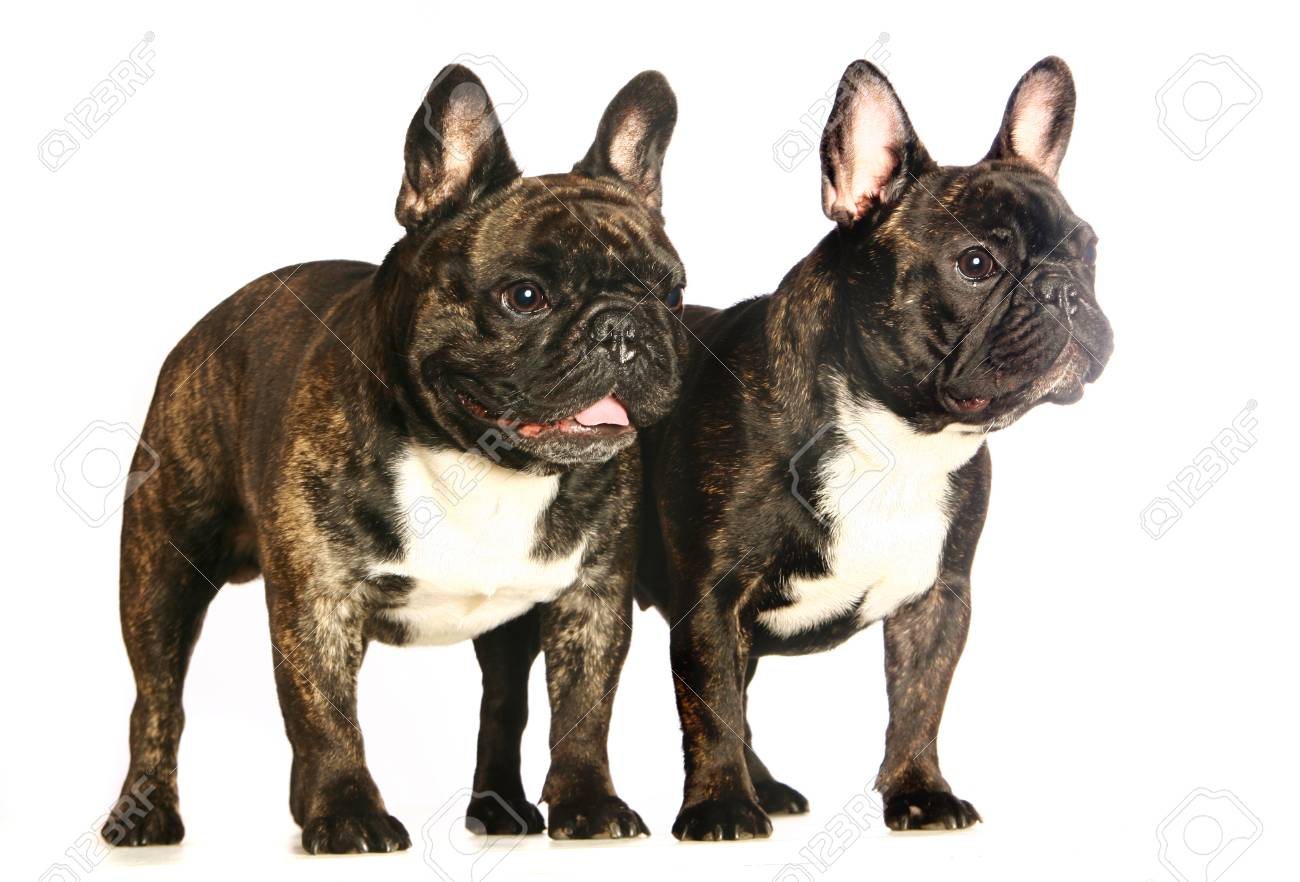 Two Dark French Bulldogs Isolated On White