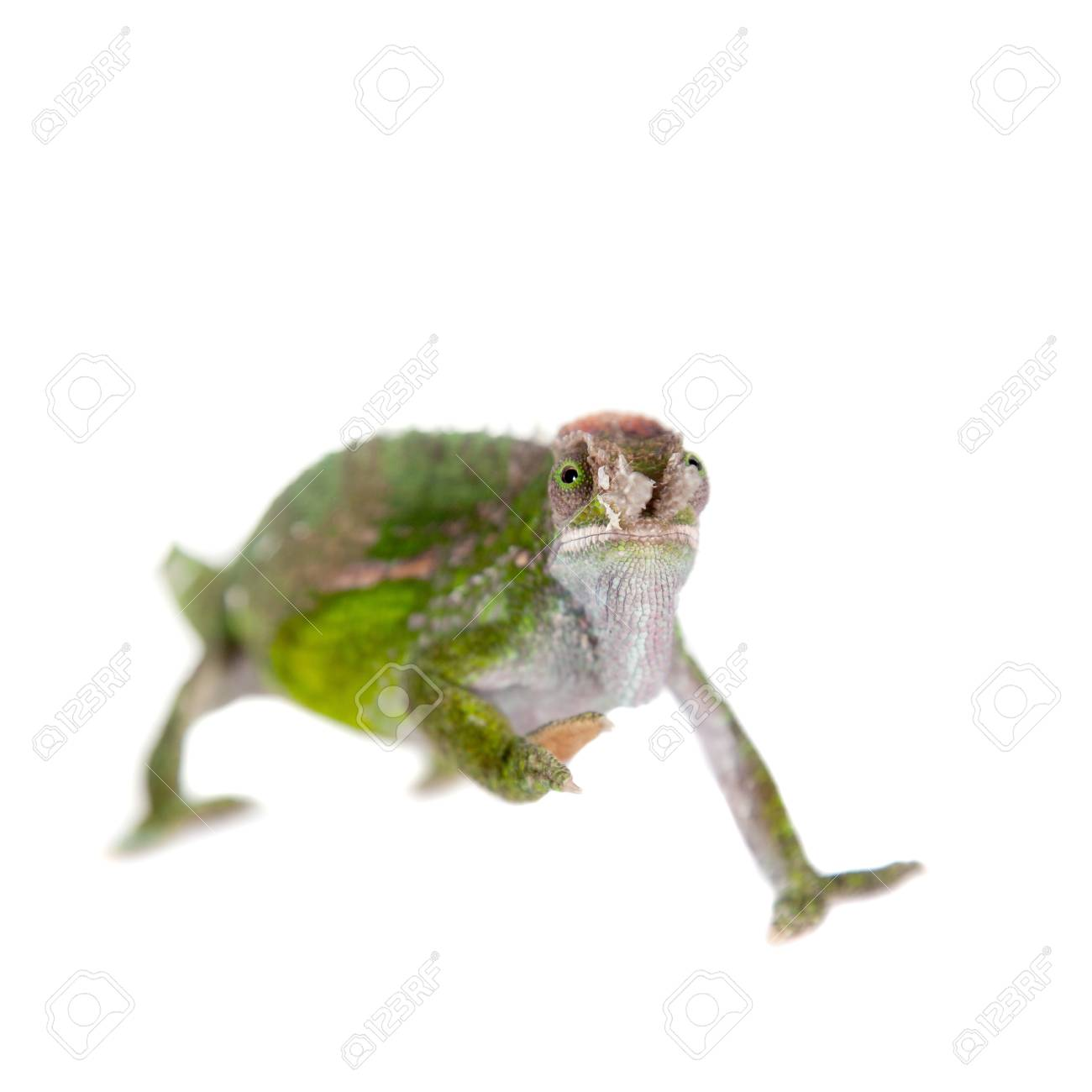 Fischers chameleon kinyongia fischeri isolated on white background fischers chameleon kinyongia fischeri isolated on white background stock photo 42610948 thecheapjerseys Images