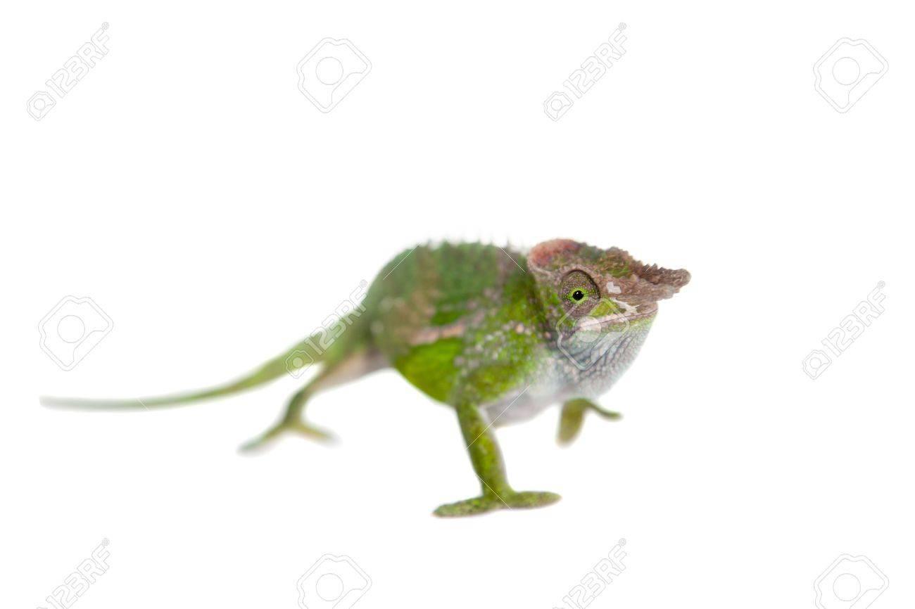Fischers chameleon kinyongia fischeri isolated on white background fischers chameleon kinyongia fischeri isolated on white background stock photo 43208772 thecheapjerseys Choice Image