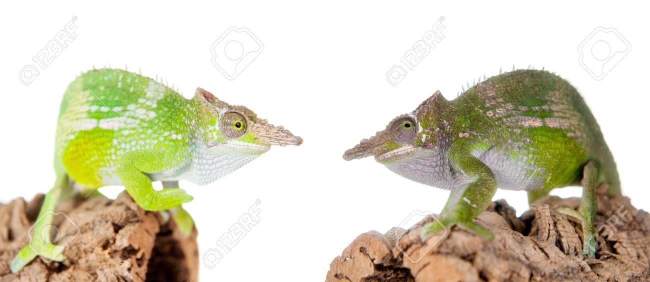 Fischers chameleon kinyongia fischeri isolated on white background fischers chameleon kinyongia fischeri isolated on white background stock photo 51549409 thecheapjerseys Choice Image