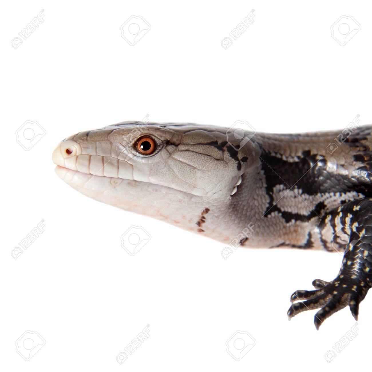 アオジタトカゲ属