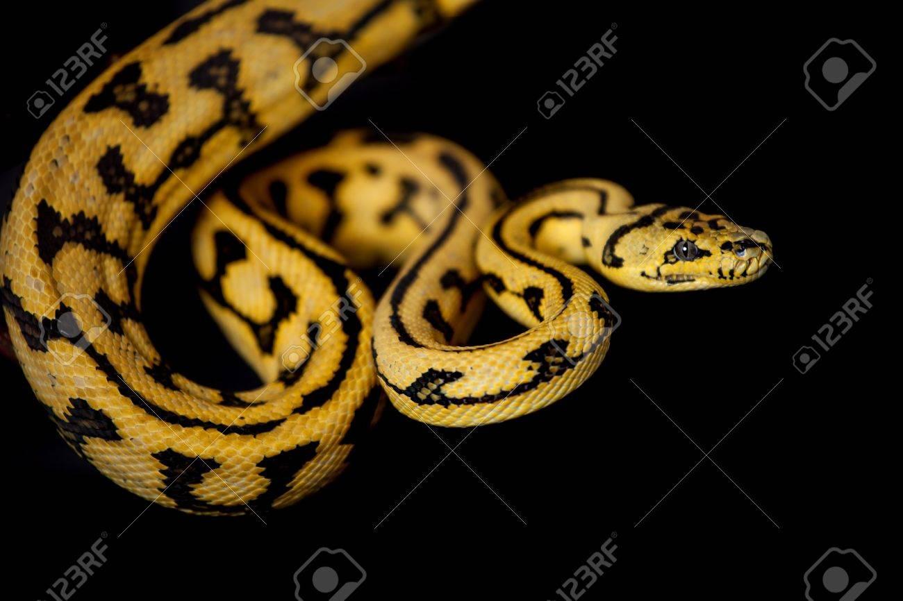 Jungle Jaguar Carpet Python, Morelia spilota cheynei, on black background Stock Photo - 64751453