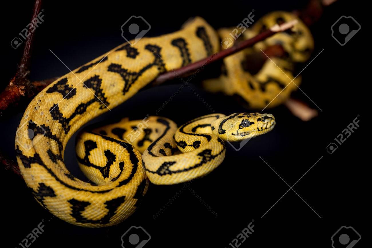 Jungle Jaguar Carpet Python, Morelia spilota cheynei, on black background Stock Photo - 64751456