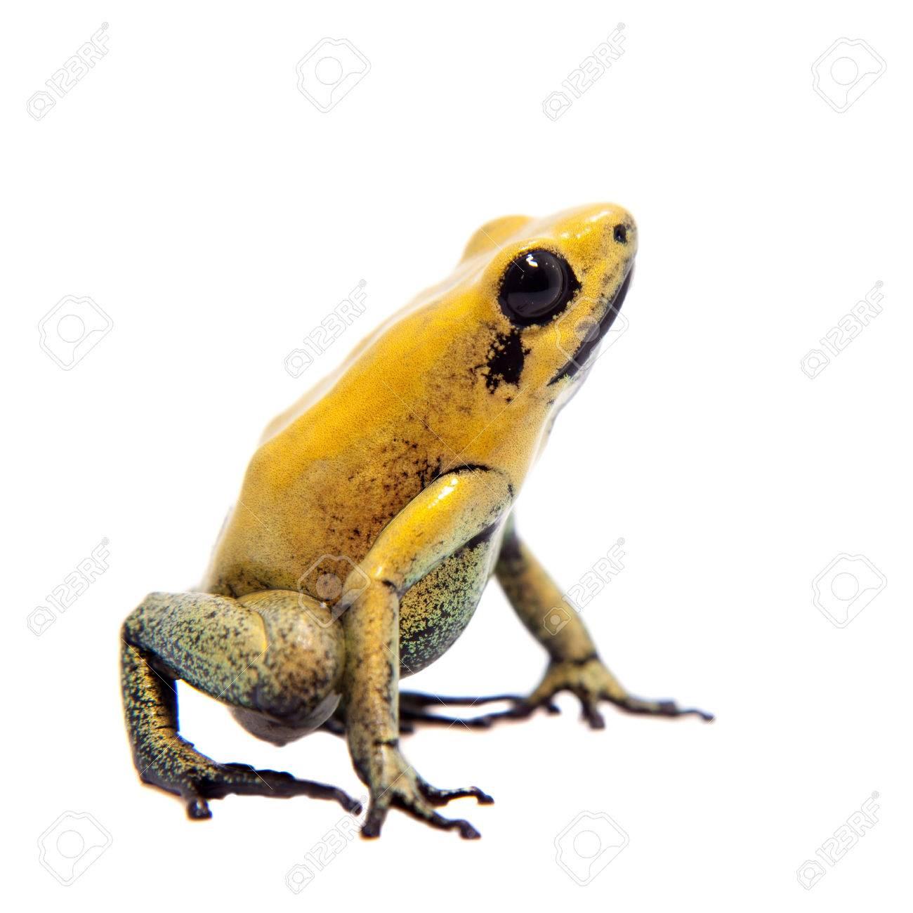 Black-legged poison frog on white - 73641522