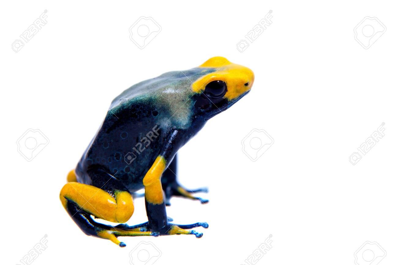 Peacock Dyeing Poison Dart Frogling, Dendrobates Tinctorius ...