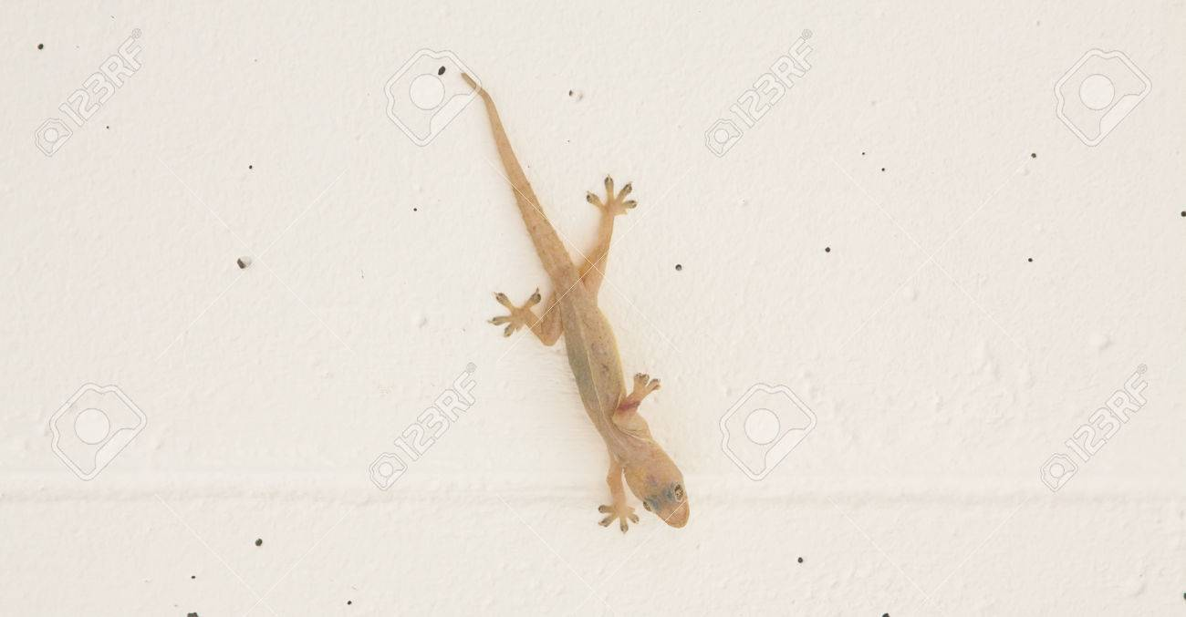 Little Lizard Hang On The Wall With Sticky Legs Stock Photo Picture