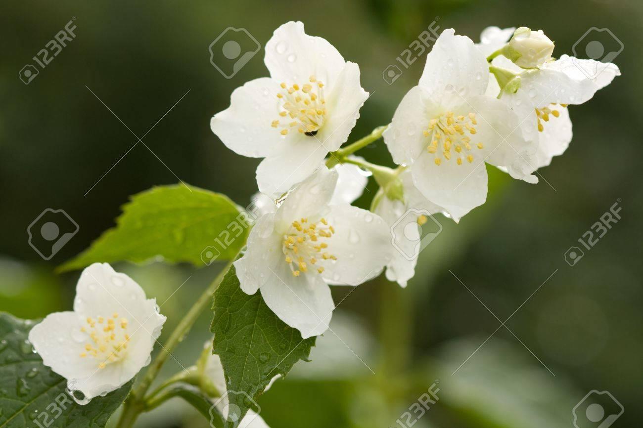 Flower jasmine with dew drops . - 5077382
