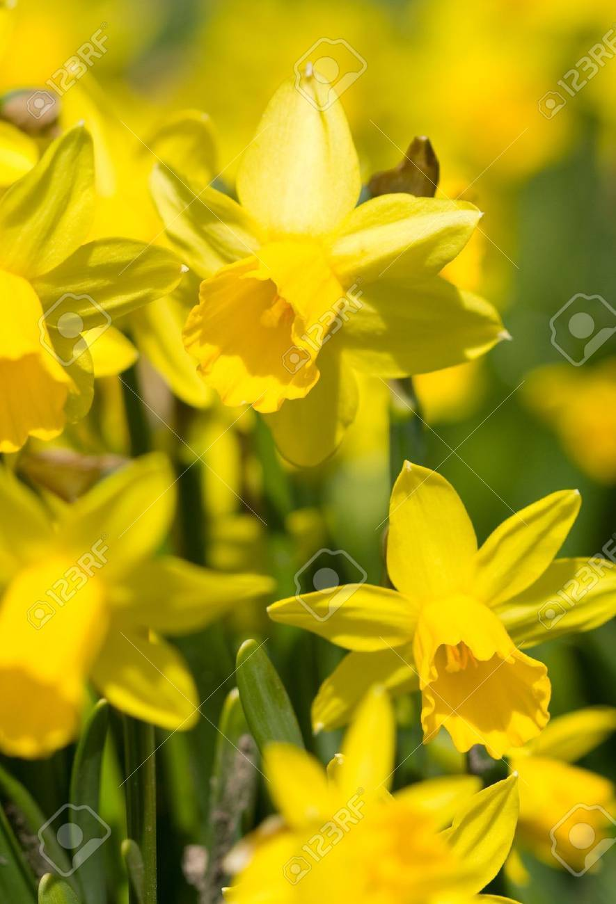 yellow narcissus on a green grass - 6425933