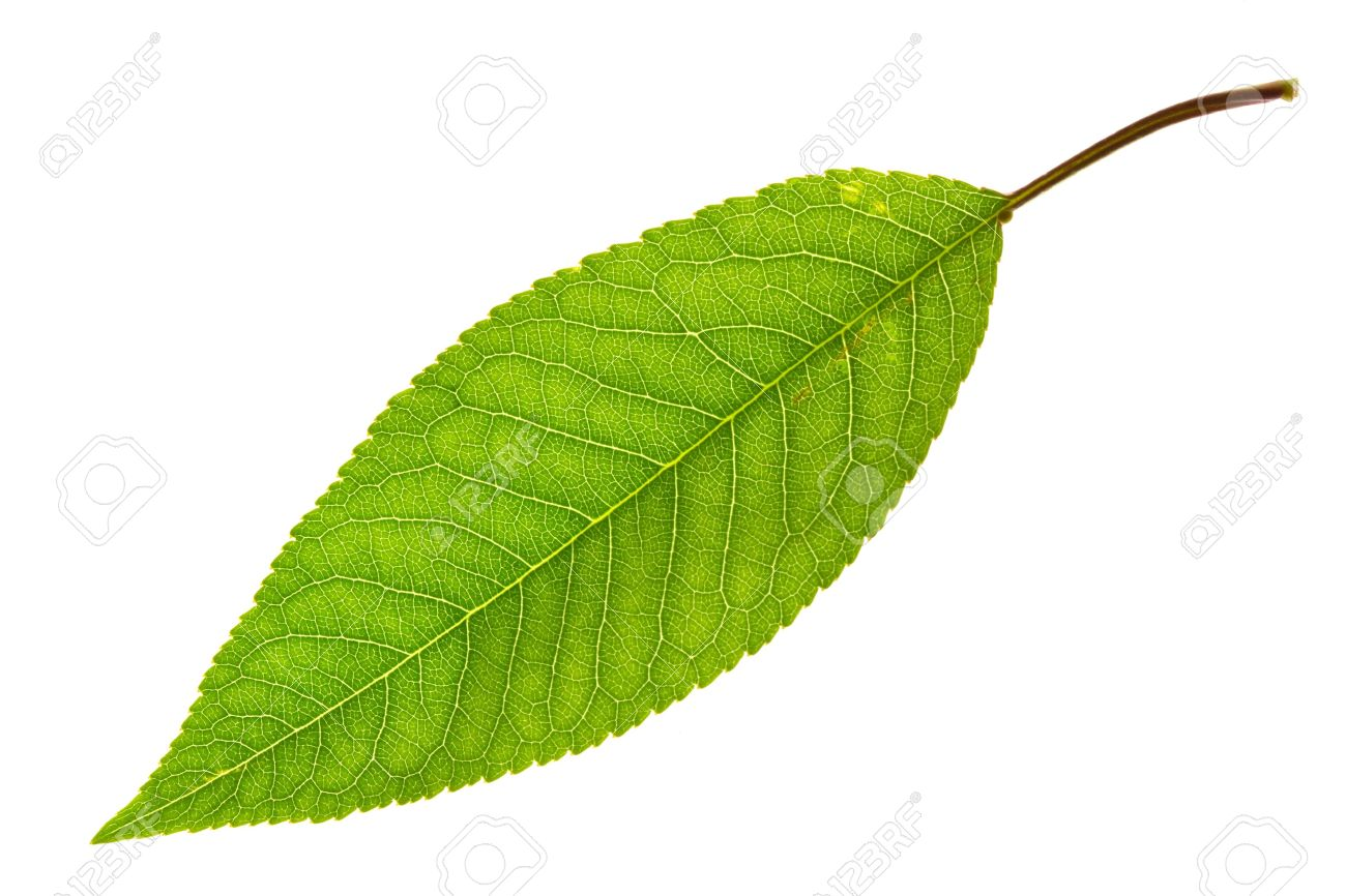 sweet cherry leaf isolated on white - 7010589
