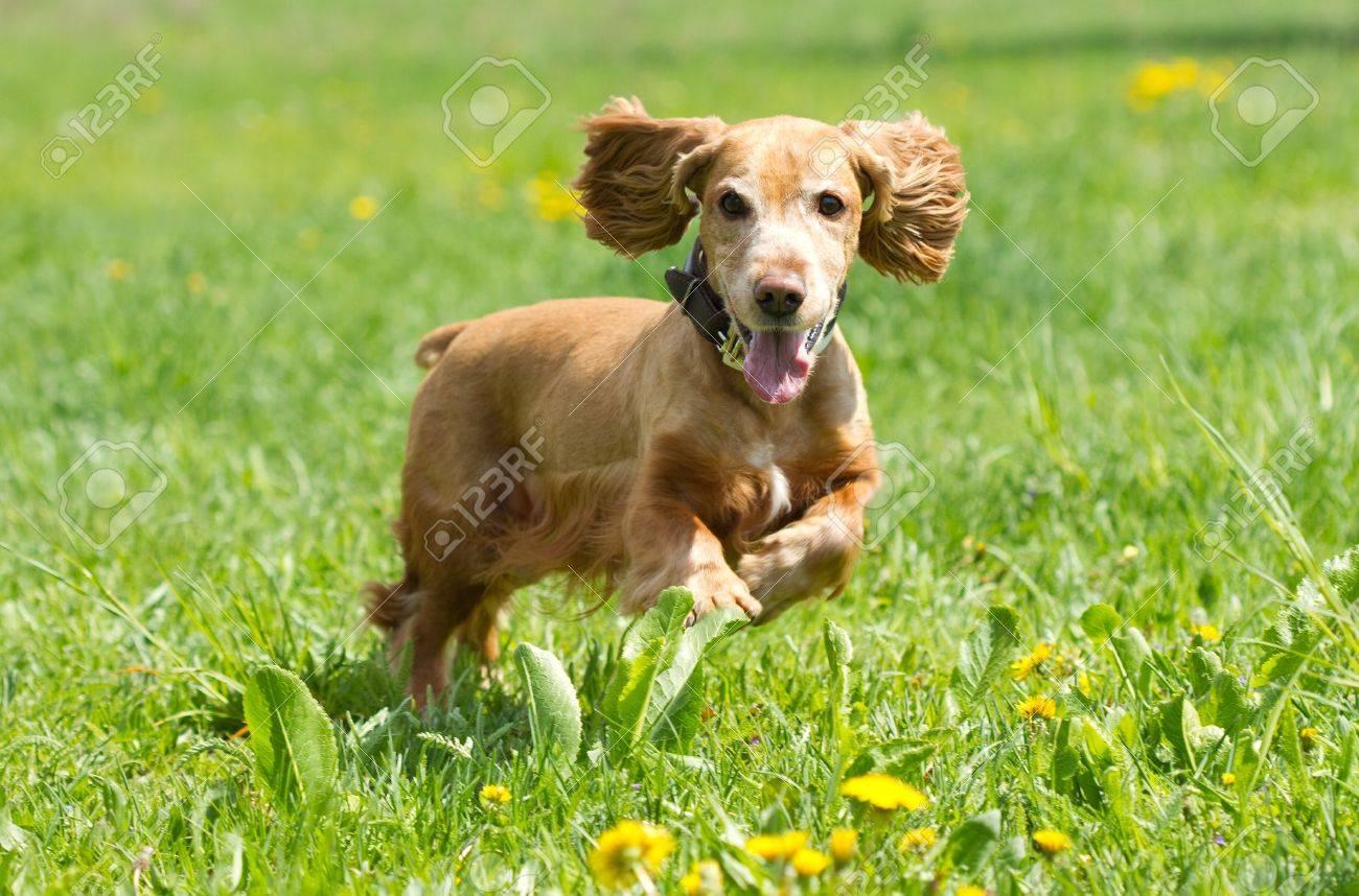 Cocker Spaniel runing on a green meadow - 9552666