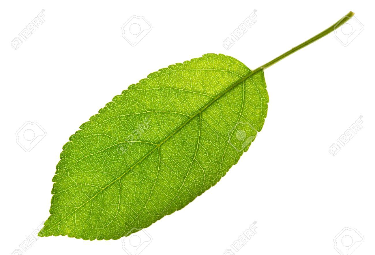 Apple leaf isolated on white - 9728209