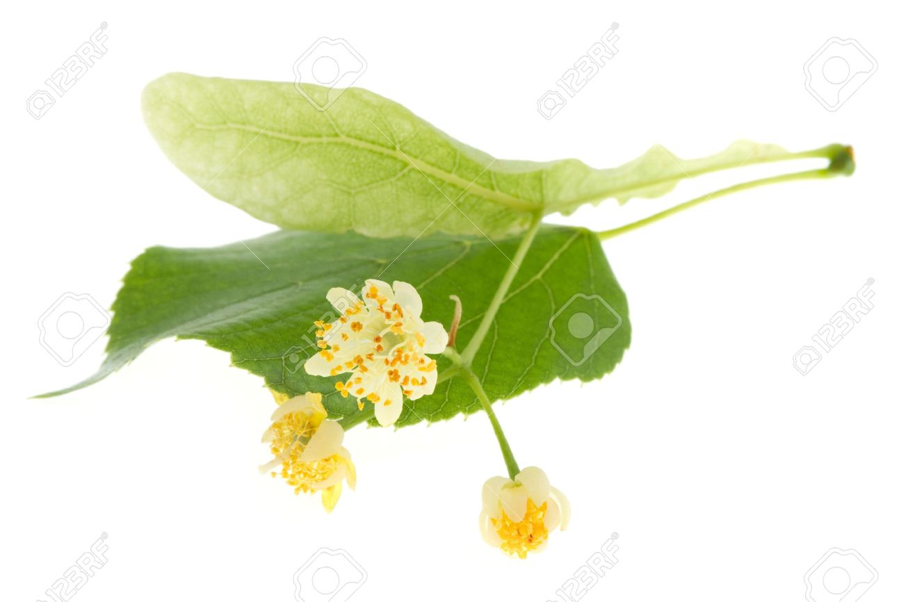 Flowers of linden tree isolated on white - 11890417
