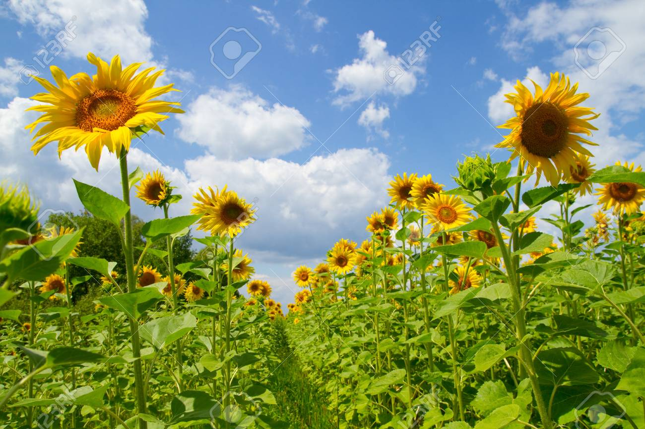 Beautiful sunflowers on a background blue sky Stock Photo - 14985090