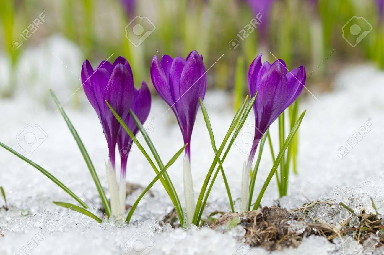 Beautiful spring crocuses in the snow - 19094921