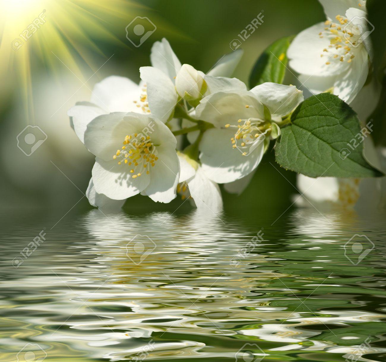 Beautiful blossom of jasmine - 20380637