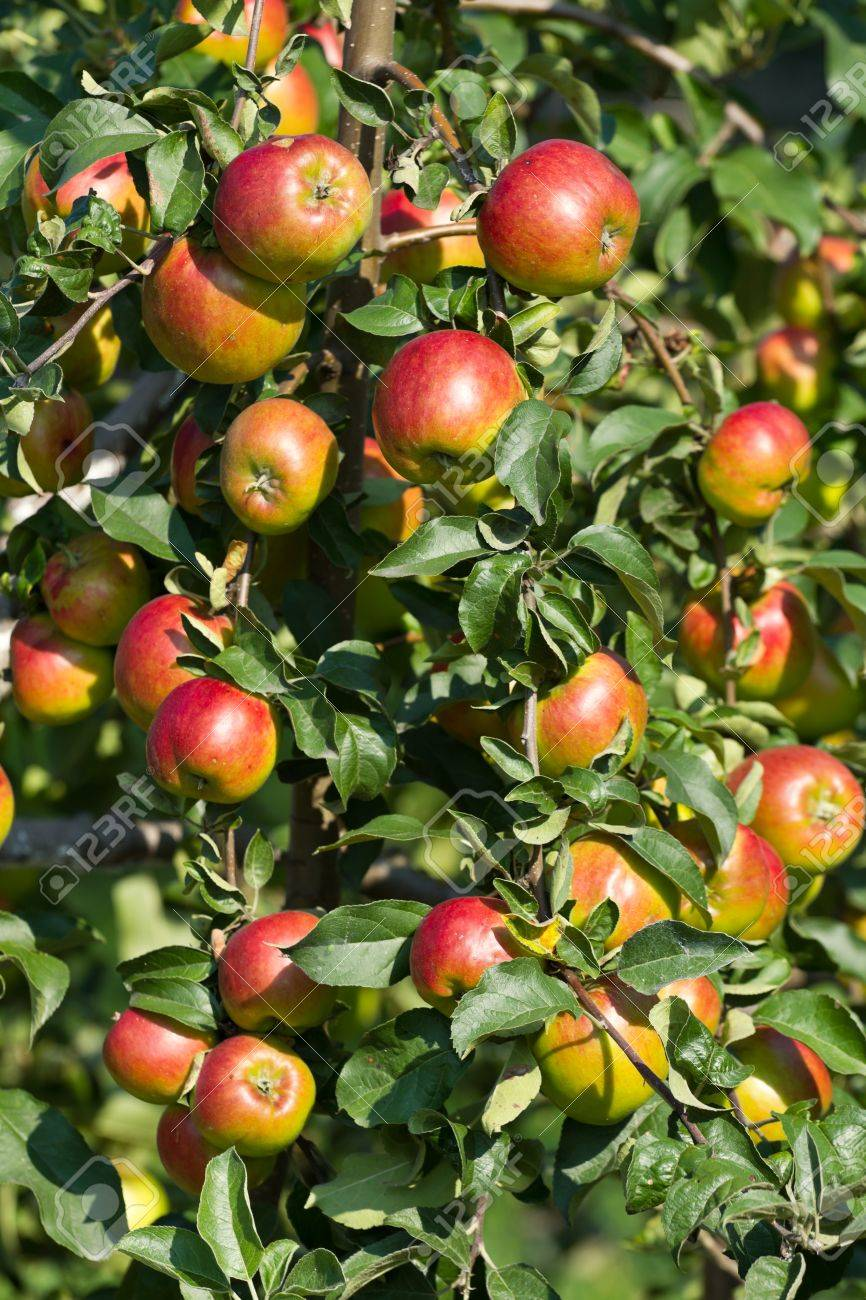 Ripe red apples on the tree . - 26222925
