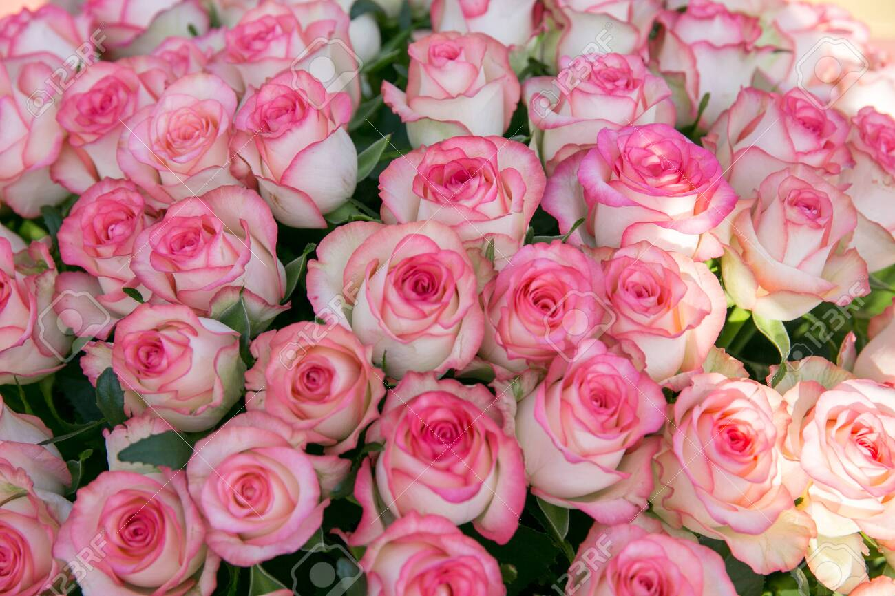 A large bouquet of pink roses. 100 or 1000 rose flowers - 147242953