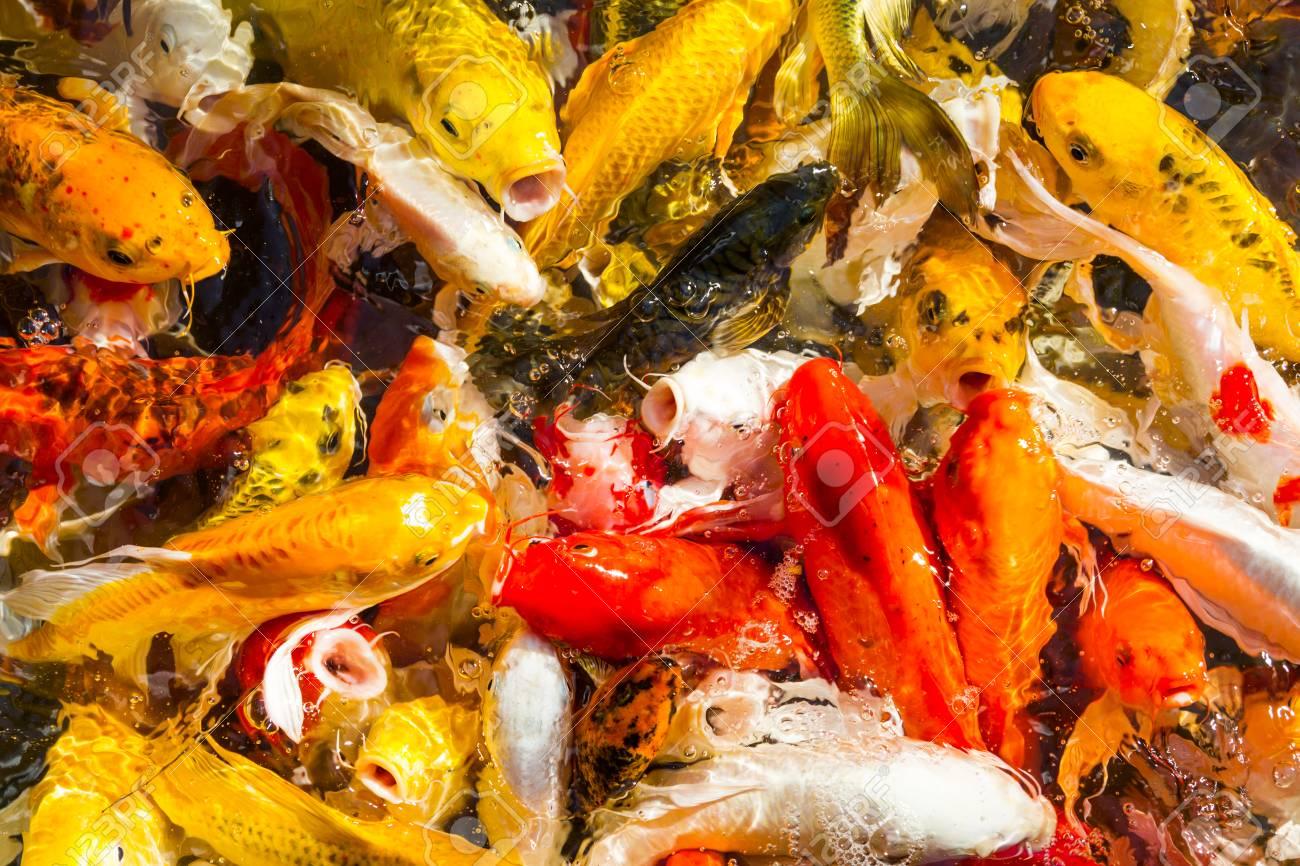 Hungry Koi Carps Fish Japanese Swimming (Cyprinus Carpio) Beautiful ...