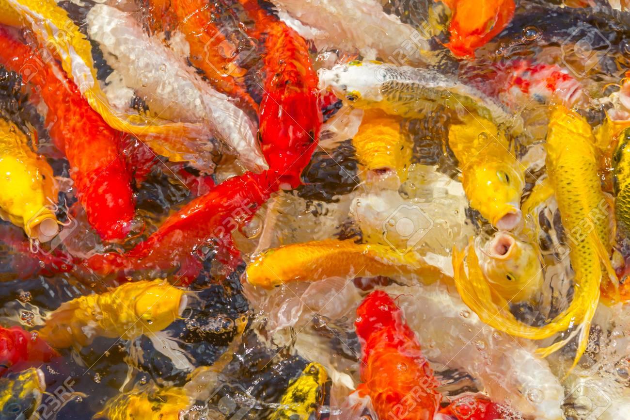 Koi Carps Fish Japanese Swimming (Cyprinus Carpio) Beautiful.. Stock ...