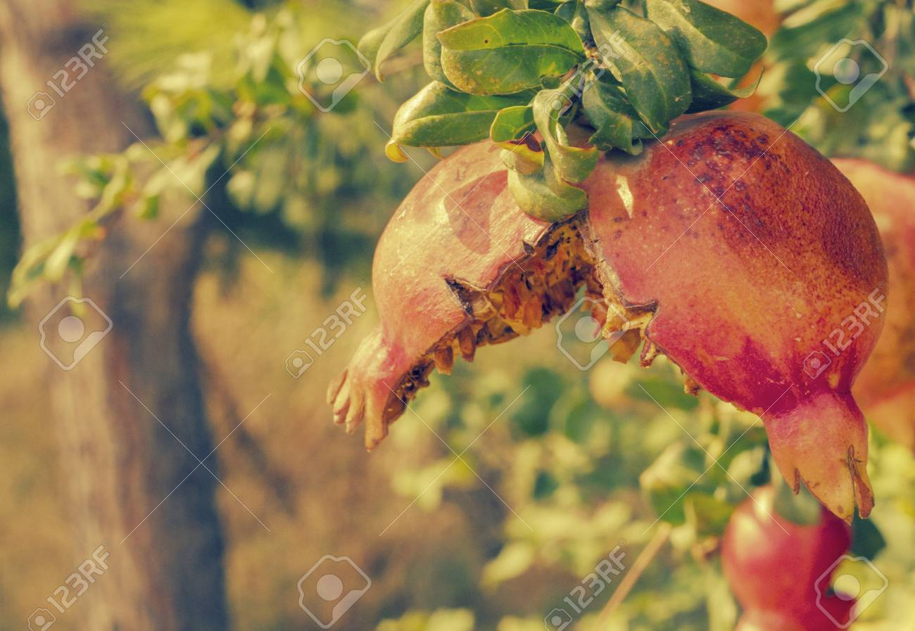 granada fruit stock photo picture and royalty free image image