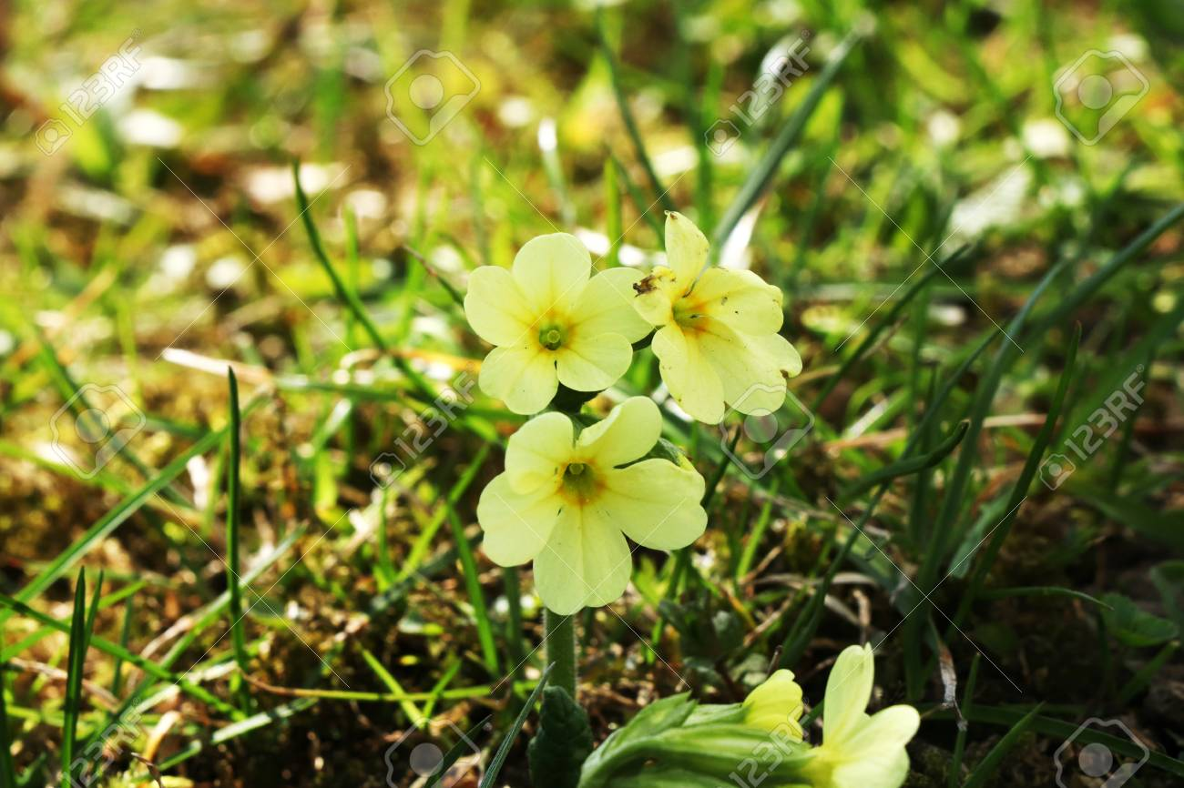 A yellow flower with five petals famous as primula elatior growing a yellow flower with five petals famous as primula elatior growing in the park stock photo mightylinksfo
