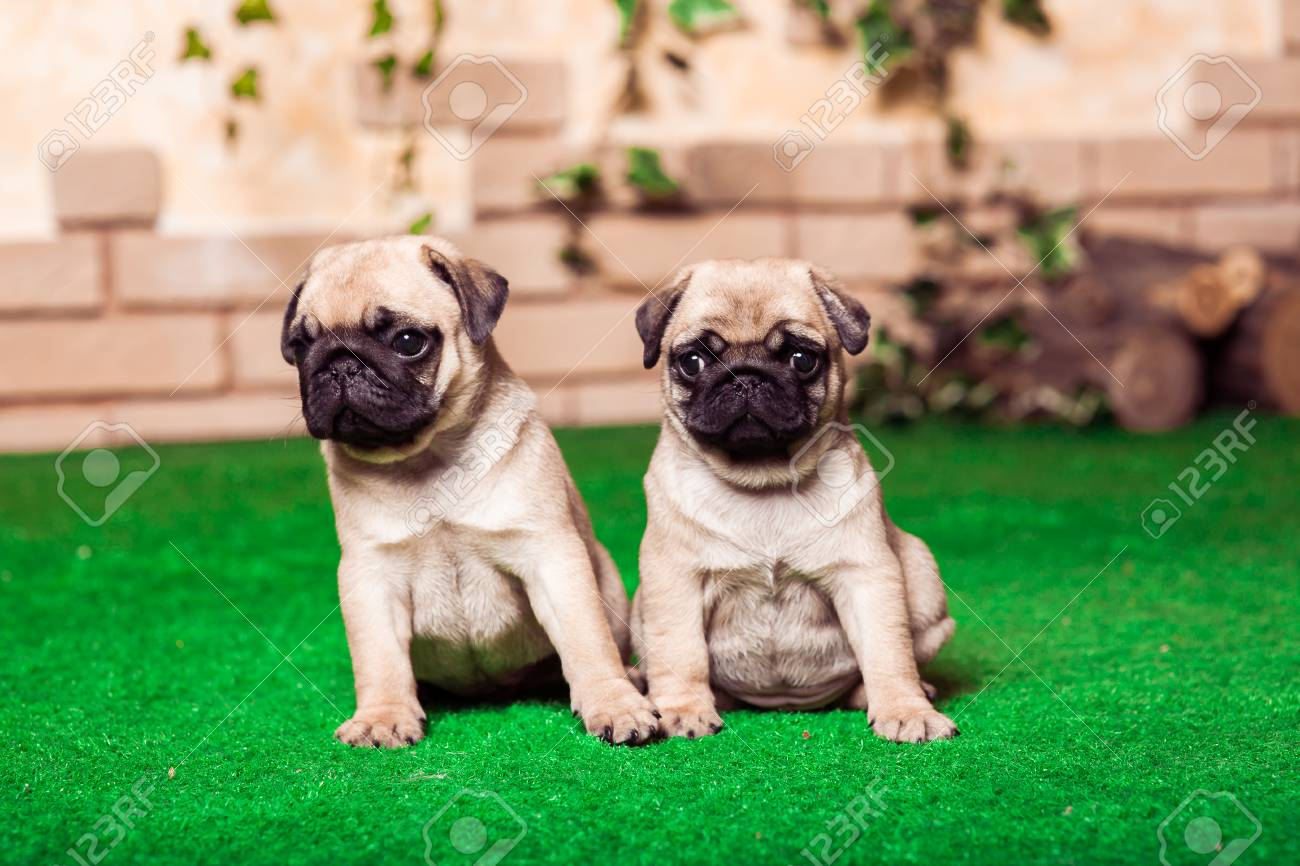 Little Beige Pug Puppies Sitting On The Green Grass Against The Stock Photo Picture And Royalty Free Image Image 63530018