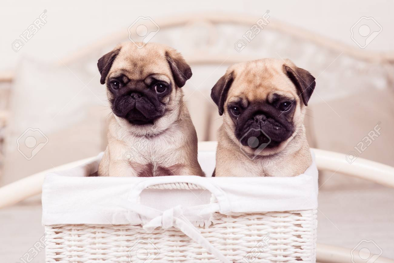 Little Beige Pug Puppies Sitting In The Wicker Basket Stock Photo Picture And Royalty Free Image Image 63530132