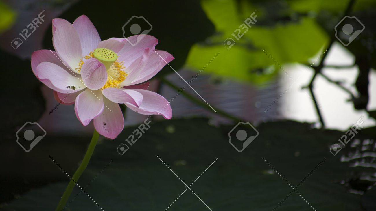 Lotus flower stock photo picture and royalty free image image lotus flower stock photo 48382211 mightylinksfo