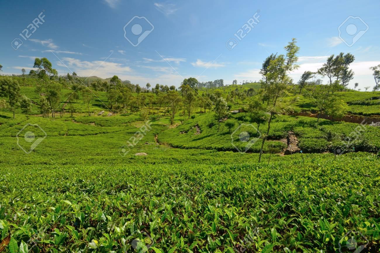 Wide angle shot of a Vivid green tea crop in Haputale, Sri Lanka Stock Photo - 16435547