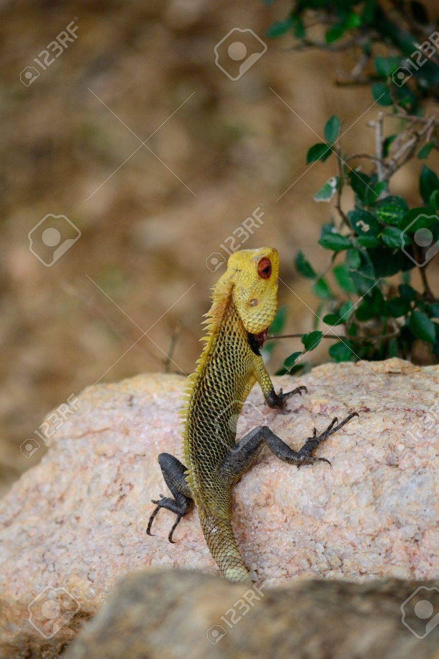 Colorful iguana on a stone, Sri Lanka Stock Photo - 17076129
