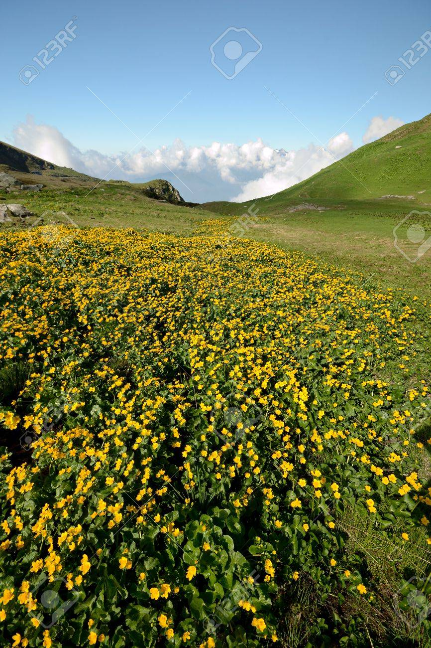 Yellow Flowers Meadow And Green Pasture In Alpine Landscape Stock