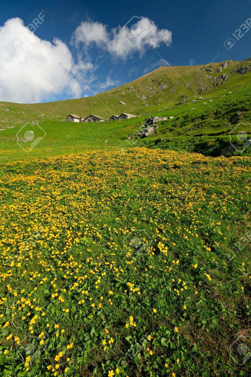 Yellow Flowers Meadow And Green Pasture In Idyllic Alpine Landscape