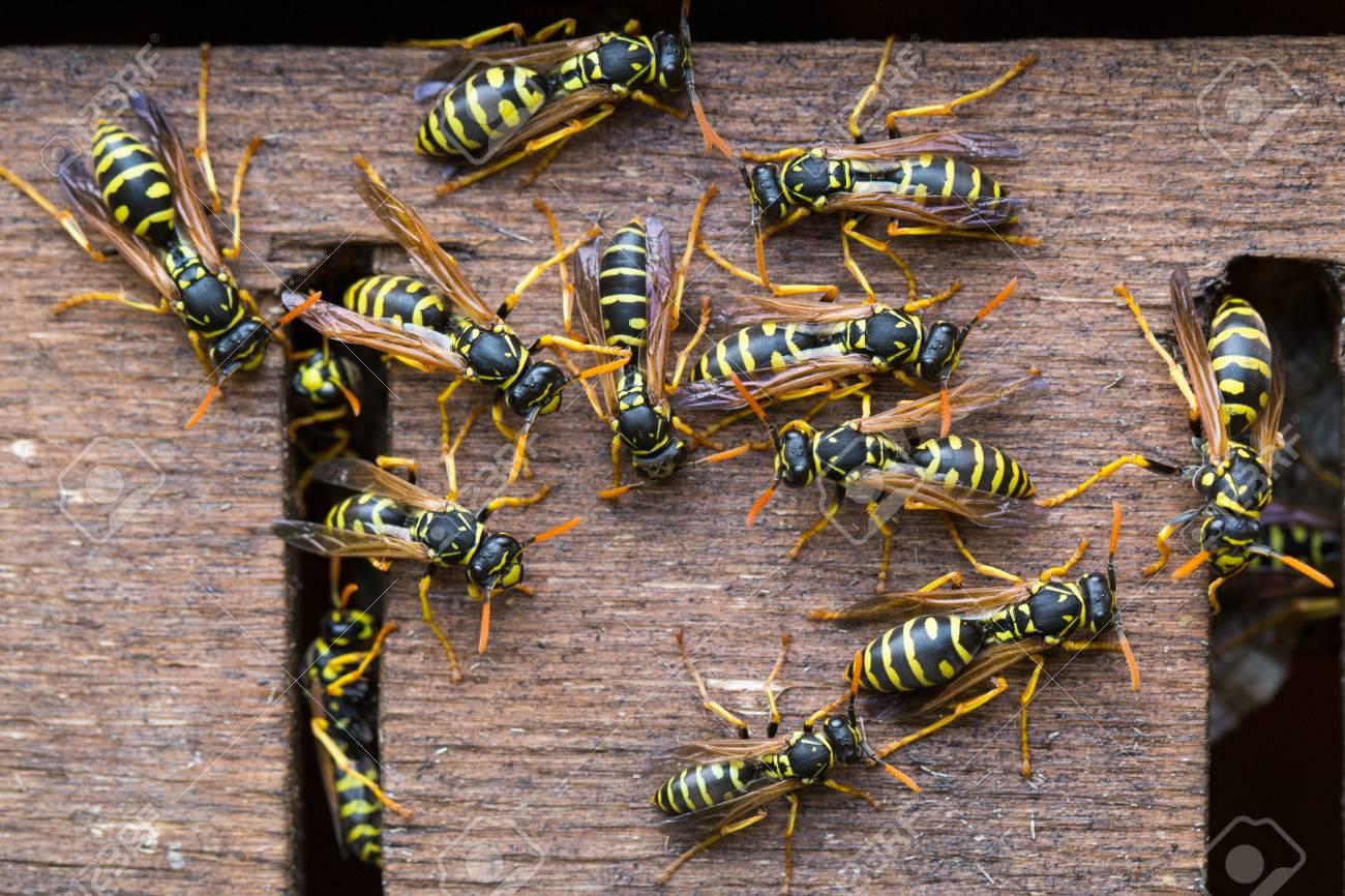 Many wasps gathering near their nest Stock Photo - 45644458