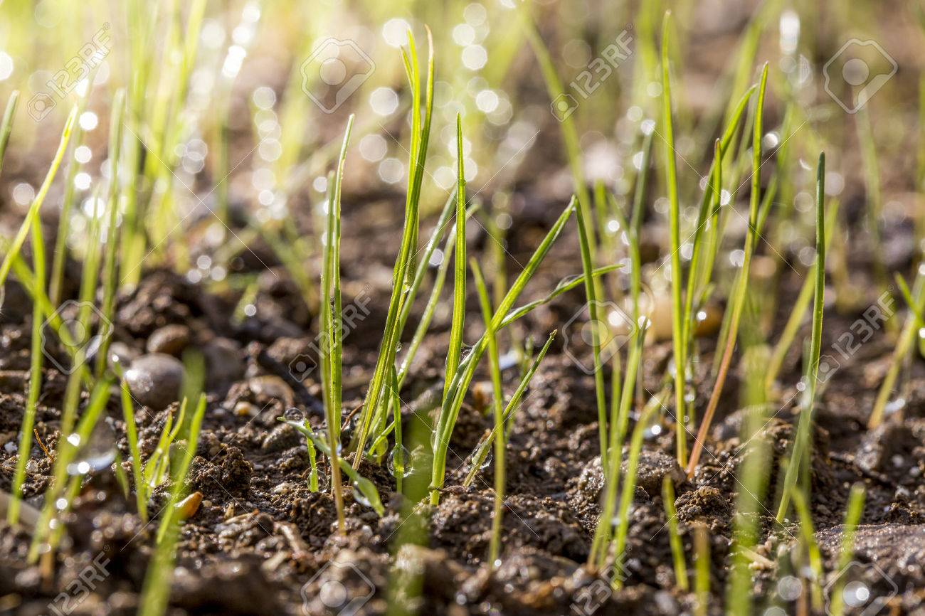 Macro of lawn sprouts with morning dew in a freshly seeded garden. Stock Photo - 76486411