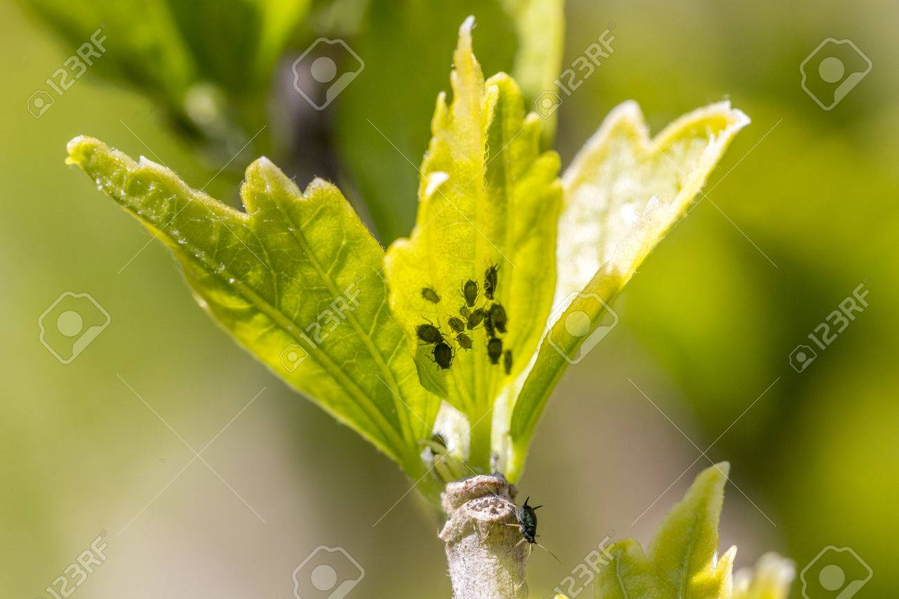 Aphids colony on leaf bud Stock Photo - 76986980