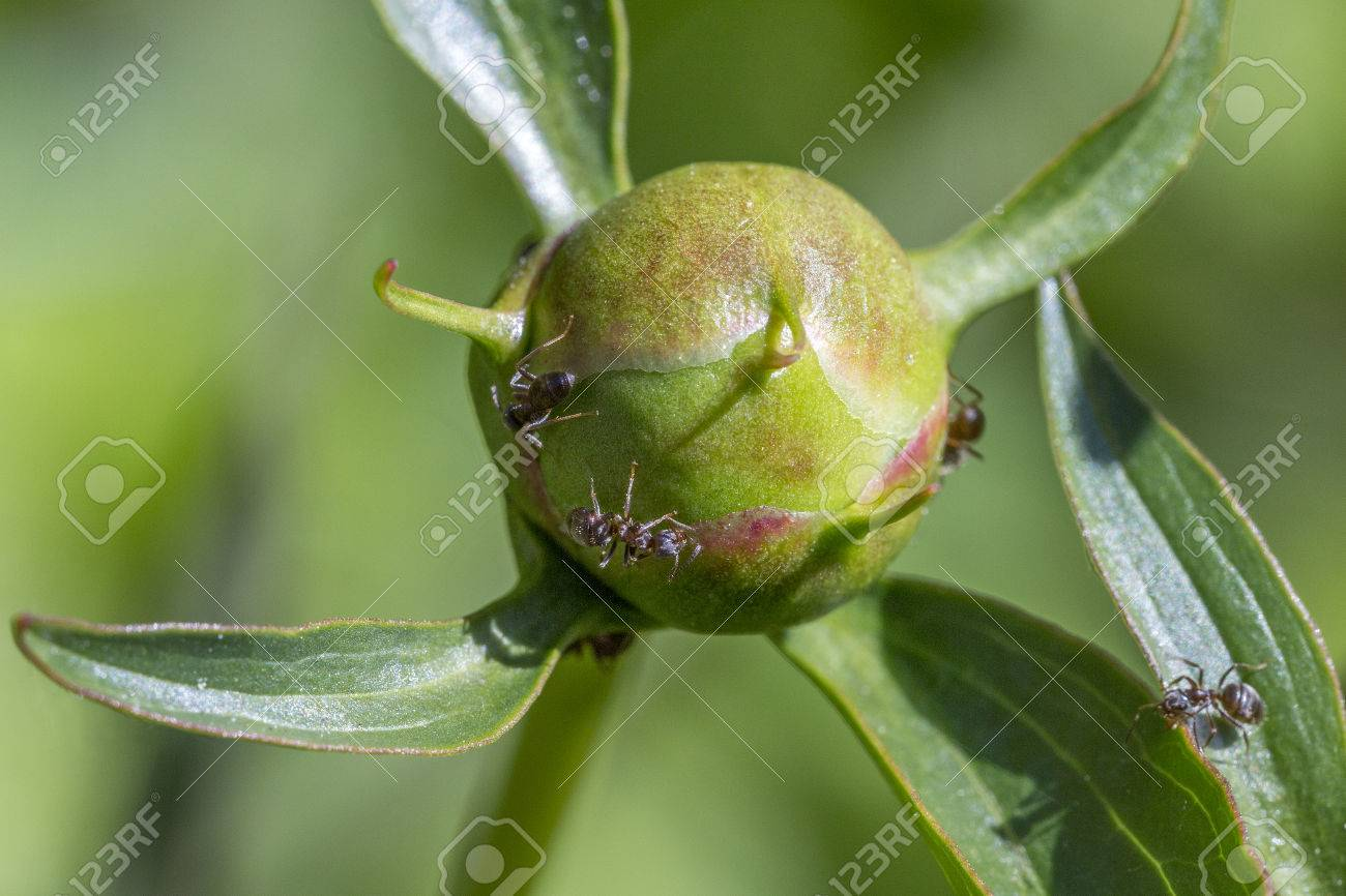 Macro of ants collecting the sweet nectar secreted by peony buds. Stock Photo - 76986979