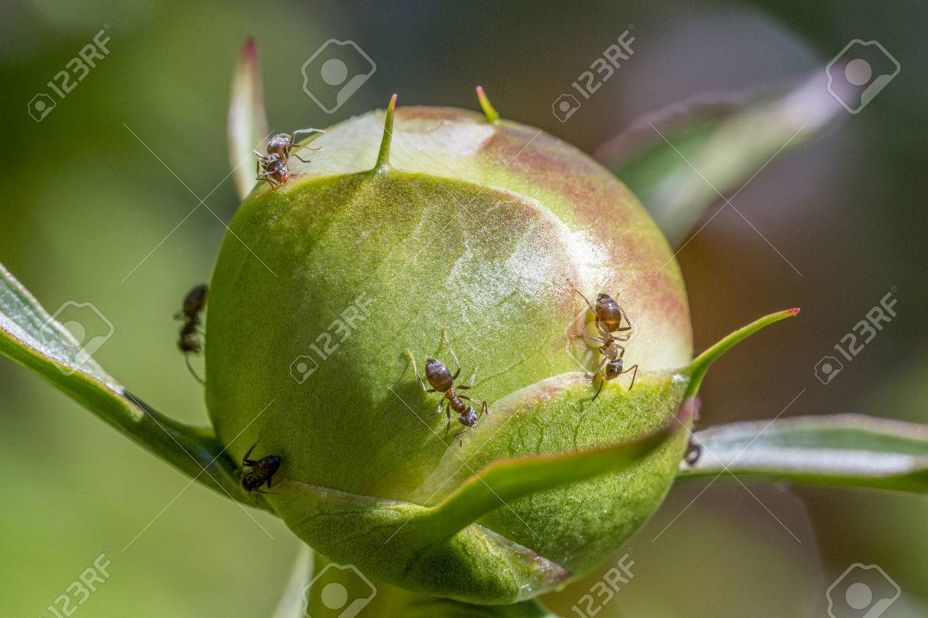 Macro of ants collecting the sweet nectar secreted by peony buds. Stock Photo - 77028896