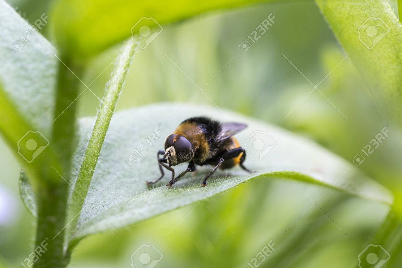 Close up of a Narcissus bulb fly, a specie of hoverfly, displaying similar color patterns as bumblebees. Stock Photo - 77876082