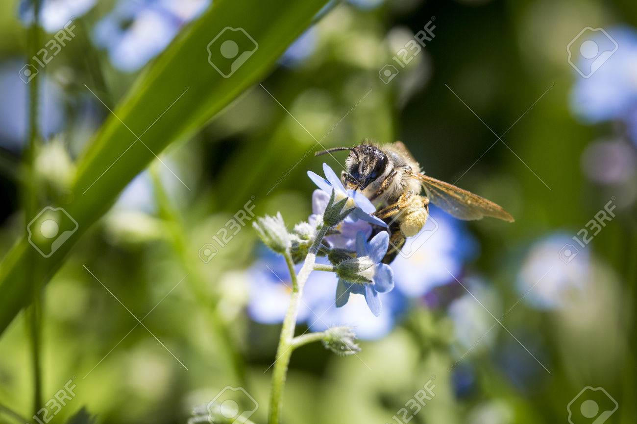 Close up of a bee pollinating a flower. Stock Photo - 78521516