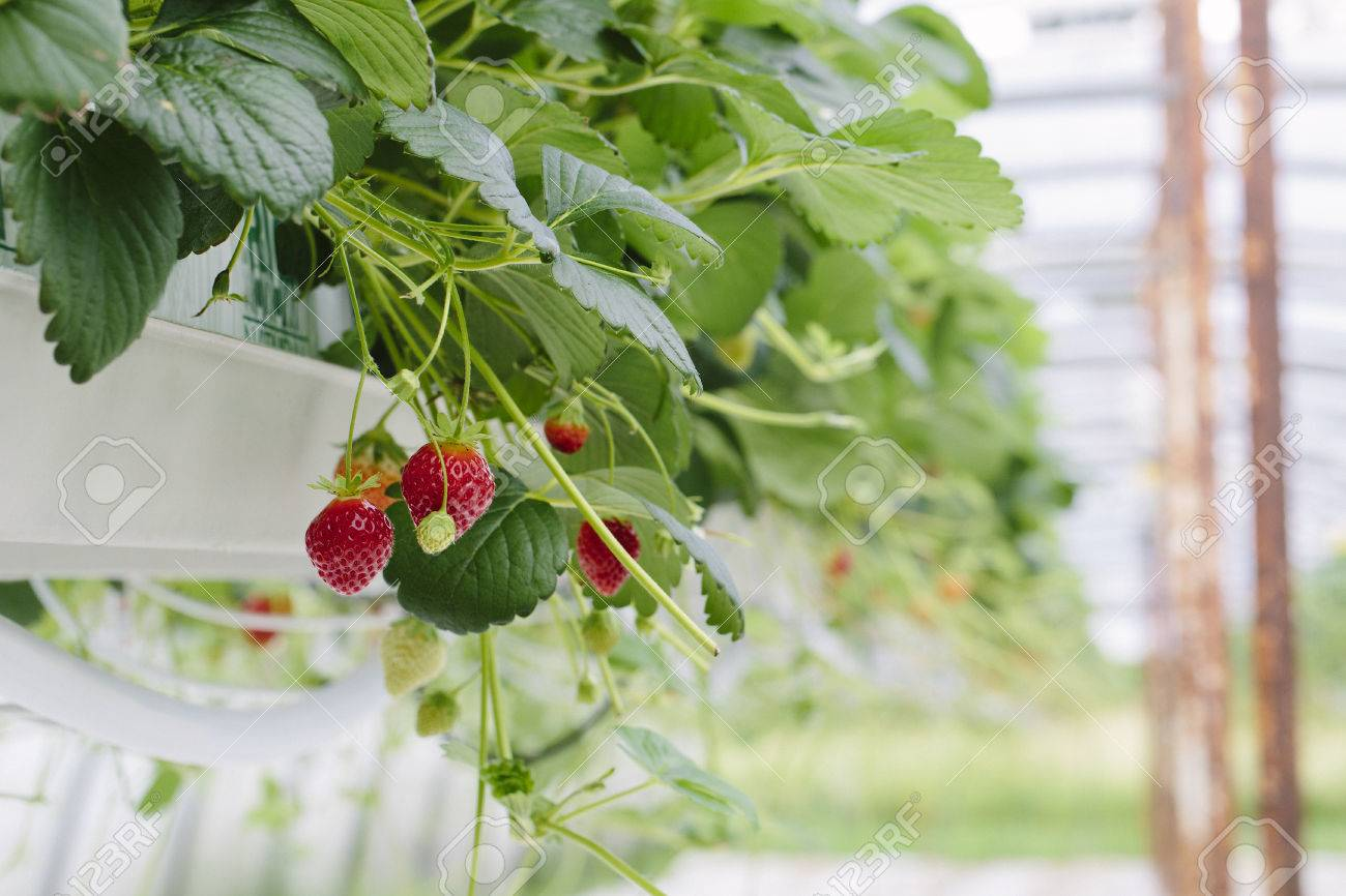 Greenhouse soilless cultivation of strawberries Stock Photo - 80900473