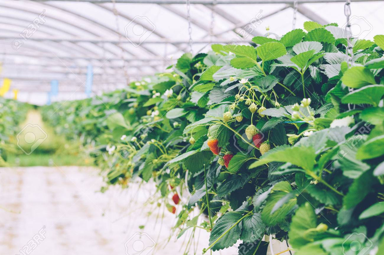 Greenhouse soilless cultivation of strawberries Stock Photo - 80900470