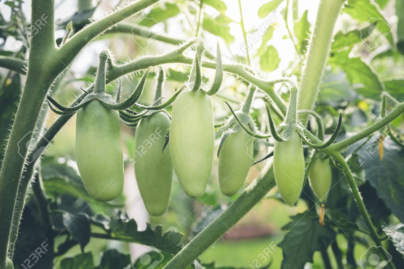 San Marzano tomatoes, unripe and with sun flare in the background. Stock Photo - 81795799