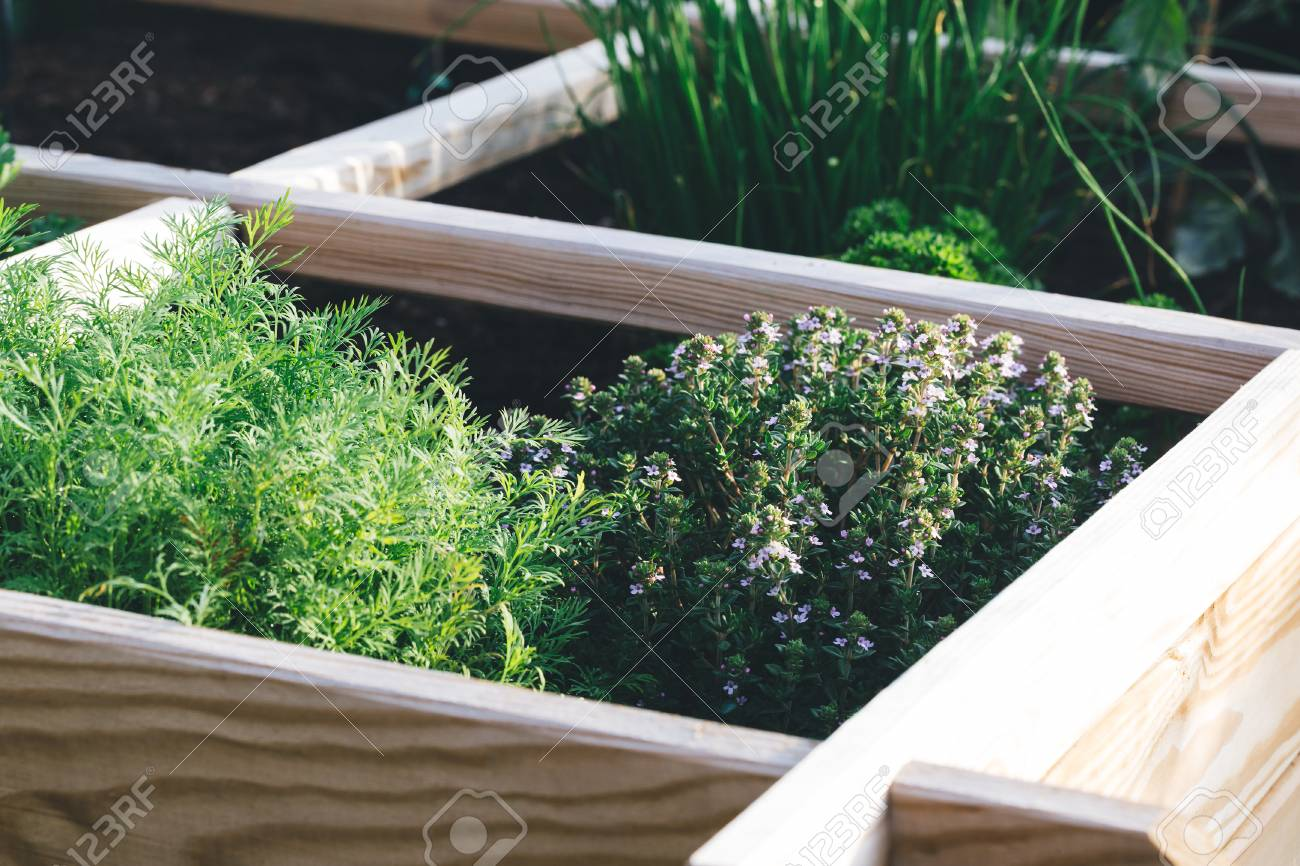 Aromatic Herbs Dill Thyme Parsley And Chive In A Raised Bed